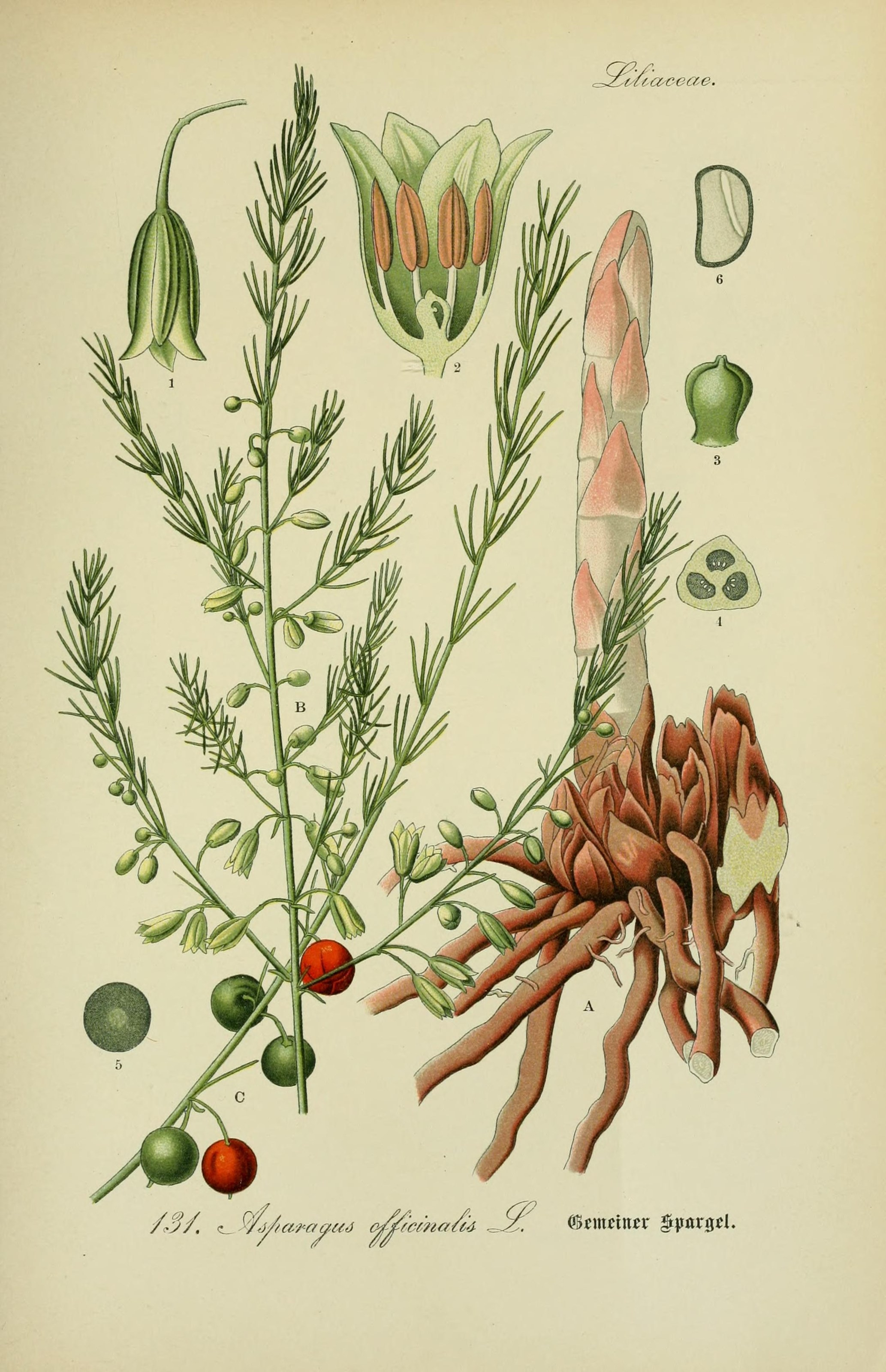 Datei:Spargel Asparagus officinalis.jpg